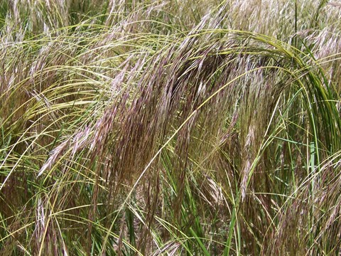 Chilean Needle Grass (5).jpg